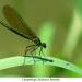 Libellules03Calopteryx eclatant femelle800x540