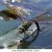 Libellules07Anax Empereur femelle ponte800x540