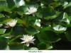 Libellules01Nenuphar blanc800x540